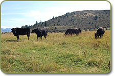 Wagyu females on pasture